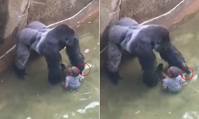 The Murder of Harambe the Gorilla